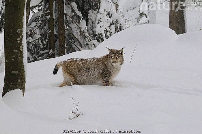 Eurasian lynx (Lynx lynx) in deep snow, captive, Bayerischer Wald / Bavarian Forest National Park, Germany, CARNIVORES,CATS,EUROPE,FORESTS,GERMANY,MAMMALS,SNOW,TREES,VERTEBRATES,WINTER,PLANTS, Jouan & Rius