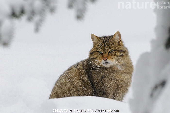 Wild cat (Felis silvestris) in snow, captive, Bayerischer Wald / Bavarian Forest National Park, Germany, CARNIVORES,CATS,EUROPE,GERMANY,MAMMALS,SNOW,VERTEBRATES,WILDCAT,WINTER, Jouan & Rius