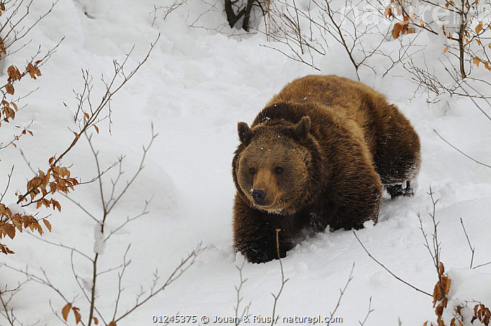 Eurasian brown bear (Ursus arctos arctos) in winter, captive, Bayerischer Wald / Bavarian Forest National Park, Germany, BEARS, CARNIVORES, EUROPE, GERMANY, HIGH-ANGLE-SHOT, MAMMALS, SNOW, VERTEBRATES, WALKING, WINTER, Jouan & Rius