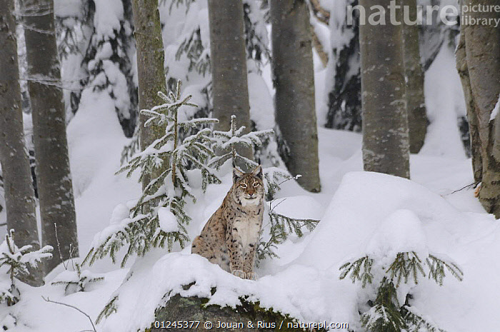 Eurasian lynx (Lynx lynx) sitting in snow, captive, Bayerischer Wald / Bavarian Forest National Park, Germany, CARNIVORES,CATS,EUROPE,FORESTS,GERMANY,MAMMALS,SITTING,SNOW,TREES,TRUNKS,VERTEBRATES,WINTER,PLANTS, Jouan & Rius