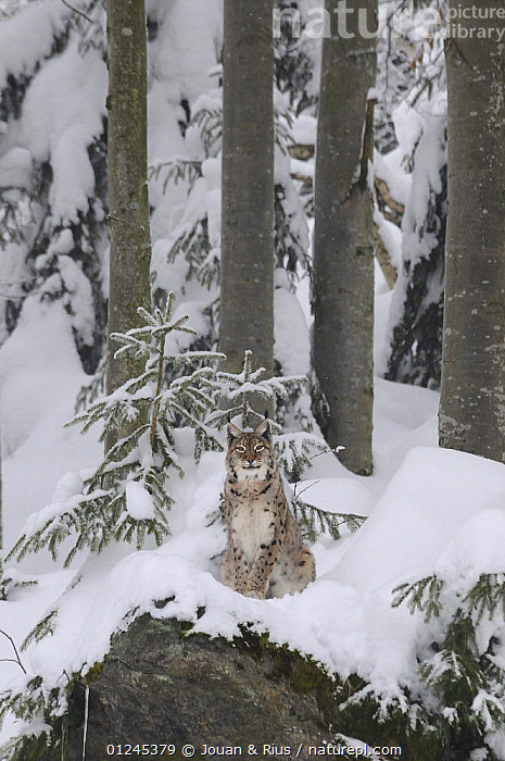 Eurasian lynx (Lynx lynx) sitting in snow, captive, Bayerischer Wald / Bavarian Forest National Park, Germany, CARNIVORES,CATS,EUROPE,FORESTS,GERMANY,MAMMALS,SNOW,TREES,VERTEBRATES,VERTICAL,WINTER,PLANTS, Jouan & Rius