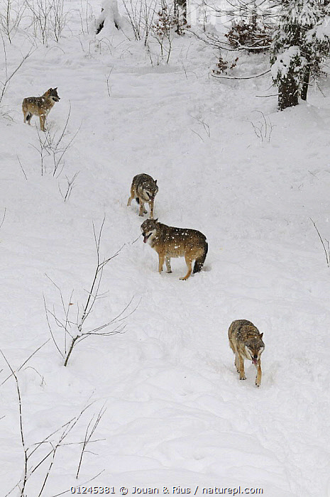 Four Grey wolves (Canis lupus) in snow, captive, Bayerischer Wald / Bavarian Forest National Park, Germany, CANIDS,CARNIVORES,EUROPE,GERMANY,GROUPS,MAMMALS,SNOW,VERTEBRATES,VERTICAL,WINTER,WOLVES, Jouan & Rius