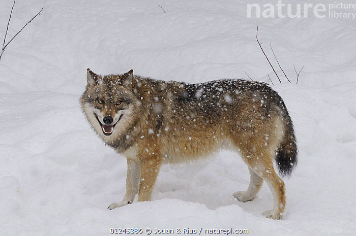 Grey wolf (Canis lupus) in snow, captive, Bayerischer Wald / Bavarian Forest National Park, Germany, CANIDS,CARNIVORES,EUROPE,GERMANY,MAMMALS,PORTRAITS,SNOW,VERTEBRATES,WINTER,WOLVES, Jouan & Rius