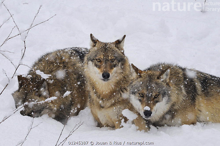 Three Grey wolves (Canis lupus) in snow, captive, Bayerischer Wald / Bavarian Forest National Park, Germany, CANIDS,CARNIVORES,EUROPE,GERMANY,MAMMALS,RELAXING,SNOW,VERTEBRATES,WINTER,WOLVES, Jouan & Rius