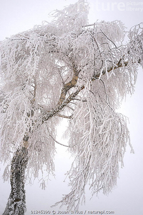 Birch tree (Betula sp) covered in hoar frost, Ballon des Vosges Nature Park, Haut Rhin, Alsace, France, December 2008, BETULACEAE,DICOTYLEDONS,EUROPE,FRANCE,FROST,LANDSCAPES,PLANTS,RESERVE,TREES,VERTICAL,WINTER,Weather, Jouan & Rius