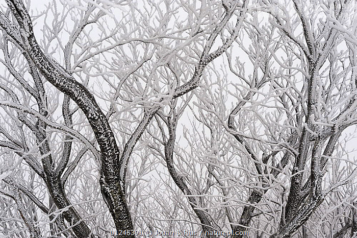 Frost covered branches, Ballon des Vosges Nature Park, Haut Rhin, Alsace, France, December 2008, BRANCHES,EUROPE,FRANCE,FROST,LANDSCAPES,RESERVE,TREES,WINTER,Weather,PLANTS,Catalogue1, Jouan & Rius