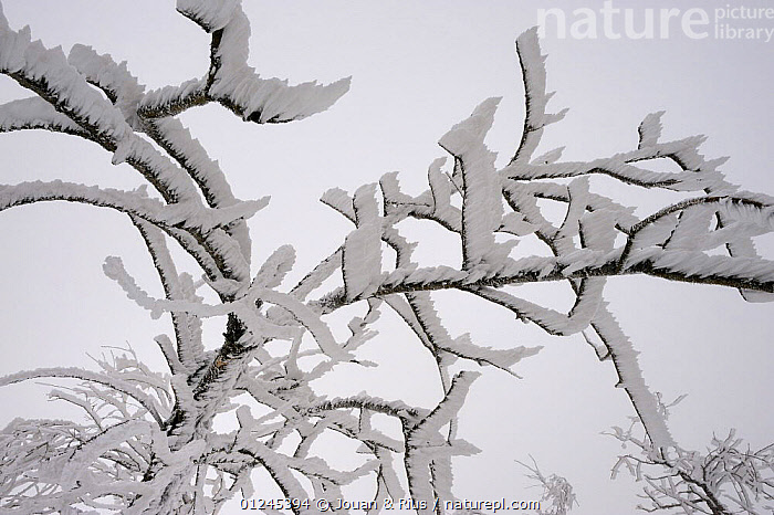Frost covered branches, Ballon des Vosges Nature Park, Haut Rhin, Alsace, France, December 2008, BRANCHES,EUROPE,FRANCE,FROST,ICE,RESERVE,TREES,WIND,WINTER,Weather,PLANTS, Jouan & Rius