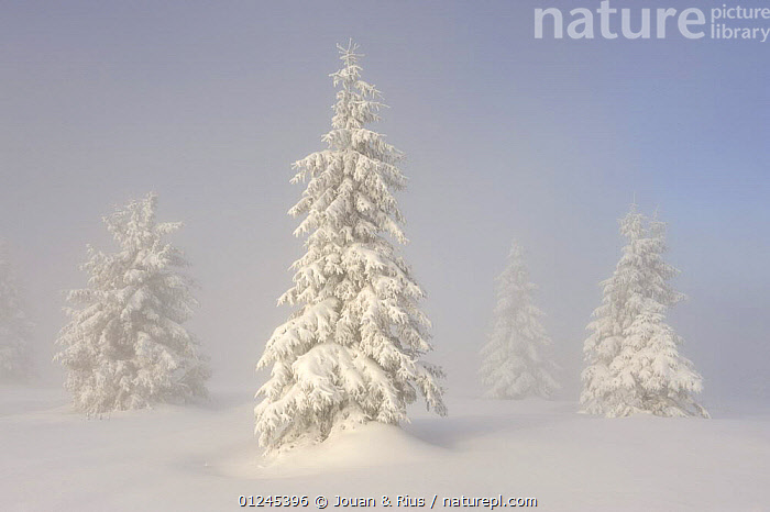 European Silver firs (Abies alba / pectinata) on Hauts Fourneaux, Ballon des Vosges Nature Park, Vosges, Lorraine, France, January 2009, CONIFERS,EUROPE,FRANCE,GYMNOSPERMS,LANDSCAPES,MIST,PINACEAE,PINES,PLANTS,RESERVE,SNOW,TREES,WINTER, Jouan & Rius