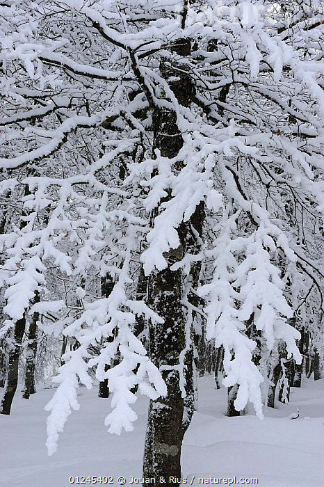 Snow covered Beech trees (Fagus sp) Ballon des Vosges Nature Park, Haut Rhin, Alsace, France, January 2009, DICOTYLEDONS,EUROPE,FAGACEAE,FORESTS,FRANCE,PLANTS,RESERVE,SNOW,TREES,TRUNKS,VERTICAL,WINTER, Jouan & Rius