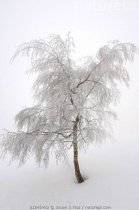 Hoar frost covered Birch tree (Betula sp) Ballon des Vosges Nature Park, Haut Rhin, Alsace, France, December 2008, BETULACEAE,DICOTYLEDONS,EUROPE,FRANCE,FROST,LANDSCAPES,PLANTS,RESERVE,SNOW,TREES,VERTICAL,WHITE,WINTER,Weather, Jouan & Rius