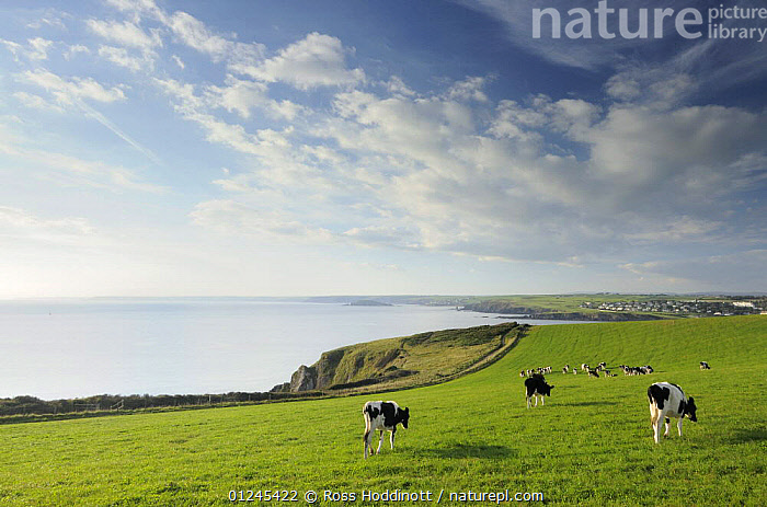 View of countryside and coast, from Hope Cove towards Thurlestone, Bigbury Bay and Burgh Island, evening light, near Salcombe, South Devon, UK, September 2009. Cows grazing in field., CLIFFS,COASTS,COUNTRYSIDE,COWS,EUROPE,FARMLAND,ISLANDS,LANDSCAPES,LIVESTOCK,SEA,UK,Geology, United Kingdom, United Kingdom, United Kingdom, Ross Hoddinott