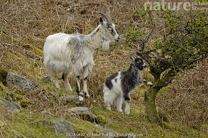 Feral Goat (Capra hircus) female and kid feeding on fresh shoots of a Hawthorn bush, part of small herd, Llanberis Pass, Snowdonia NP, Gwynedd, N Wales, UK., ARTIODACTYLA,BABIES,EUROPE,FAMILIES,FEEDING,GOATS,MAMMALS,MOTHER BABY,NP,RESERVE,UK,VERTEBRATES,WALES,National Park, United Kingdom, Mike Potts