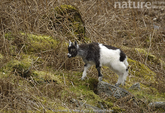 Feral Goat (Capra hircus) kid, part of small herd, Llanberis Pass, Snowdonia NP, Gwynedd, N Wales, UK., ARTIODACTYLA,BABIES,CUTE,EUROPE,GOATS,MAMMALS,NP,RESERVE,UK,VERTEBRATES,WALES,National Park, United Kingdom, Mike Potts
