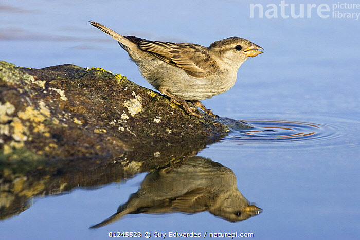 House sparrow {Passer domesticus} female drinking at pool, Marshwood Vale, Dorset, England, BEHAVIOUR,BIRDS,EUROPE,REFLECTIONS,SPARROWS,UK,VERTEBRATES,WATER, United Kingdom, Guy Edwardes