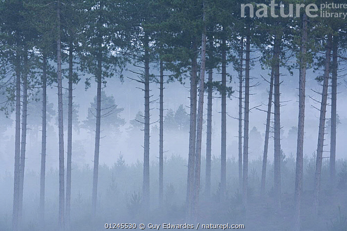 Pine woodland on Gore Heath at dawn, Wareham Forest, Dorset, UK, September 2008, ARTY SHOTS,CONIFEROUS,DAWN,EUROPE,HEATHLAND,MIST,TREES,UK,WOODLANDS,PLANTS, United Kingdom, Guy Edwardes