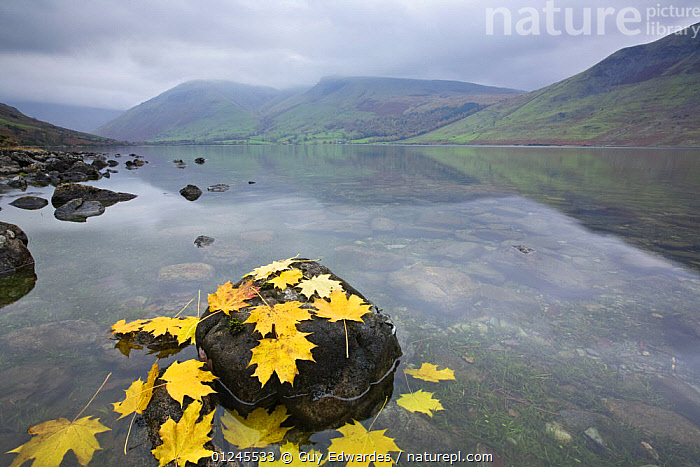 Fallen leaves on the shore of Wast Water,Wasdale, Lake District National Park, Cumbria, England, November 2007, ACER,AUTUMN,EUROPE,LAKES,LANDSCAPES,LEAVES,NP,RESERVE,UK,WATER,ENGLAND,National Park, United Kingdom, United Kingdom, Guy Edwardes