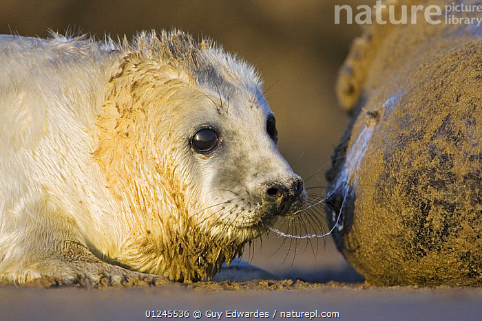 Young Grey Seal {Halichoerus grypus} taking a break from suckling from mother, Donna Nook, Lincolnshire, England, January, BABIES,CARNIVORES,COASTS,CUTE,EUROPE,FEEDING,MAMMALS,MILK,NIPPLES,PINNIPEDS,SEALS,SUCKLING,TONGUES,UK,VERTEBRATES,ENGLAND, CARNIVORES , United Kingdom, CARNIVORES , United Kingdom, Guy Edwardes