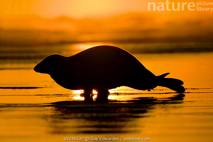 Silhouette of Grey seal (Halichoerus grypus) moving quickly across beach at sunrise, Donna Nook, Lincolnshire, England, January, BEACHES,CARNIVORES,COASTS,COLOURFUL,DAWN,EUROPE,MAMMALS,ORANGE,PINNIPEDS,SEALS,SILHOUETTES,UK,VERTEBRATES,ENGLAND, CARNIVORES , United Kingdom, CARNIVORES , United Kingdom, Guy Edwardes