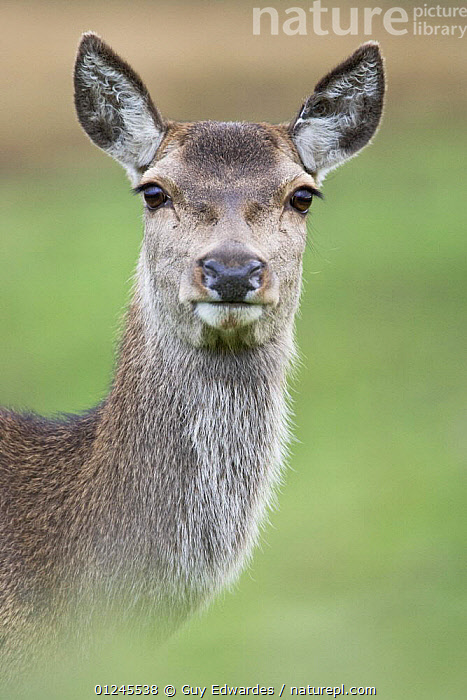 Red Deer (Cervus elaphus) hind, Glen Etive, Scotland, UK, October, ARTIODACTYLA,CERVIDS,DEER,EUROPE,FACES,MAMMALS,PORTRAITS,SCOTLAND,UK,VERTEBRATES,VERTICAL, United Kingdom, Guy Edwardes