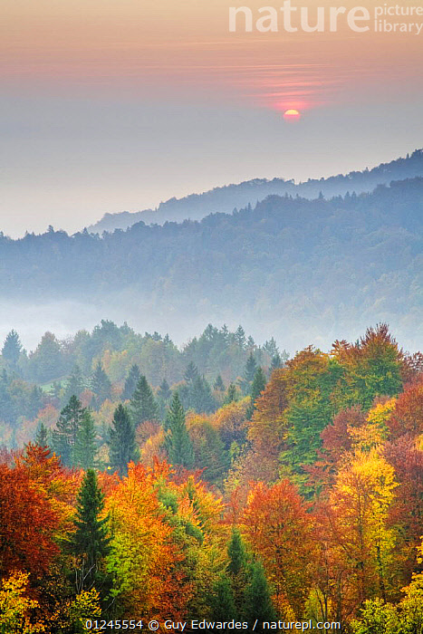 Mixed forest with morning mist, autumn, Ljubljana Basin, Gorenjska, Slovenia, October 2008, DAWN,EUROPE,LANDSCAPES,MIST,SUNRISE,VERTICAL,WOODLANDS, Guy Edwardes