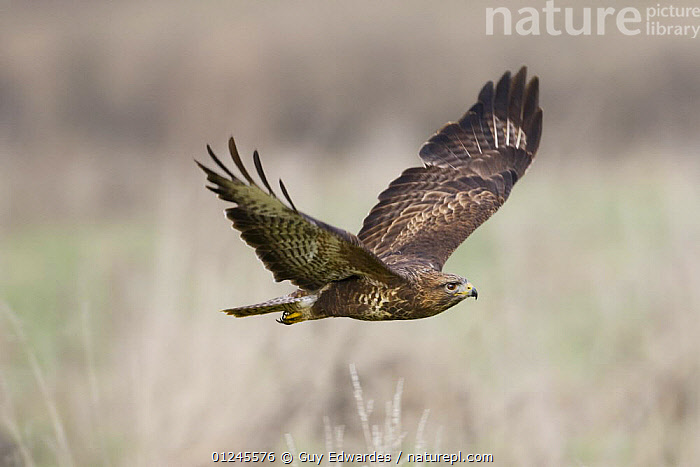 Common Buzzard {Buteo buteo} in flight, captive, UK, BIRDS,BIRDS OF PREY,EUROPE,FLYING,HAWKS,UK,VERTEBRATES, United Kingdom, Guy Edwardes