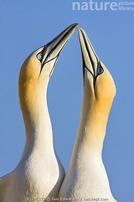 Northern gannets {Morus bassanus} pair in courtship display, Great Saltee, Co. Wexford, Ireland, June, BIRDS, COURTSHIP, EUROPE, GANNETS, IRELAND, MALE-FEMALE-PAIR, MATING-BEHAVIOUR, PROFILE, SEABIRDS, VERTEBRATES, VERTICAL,Reproduction, Guy Edwardes