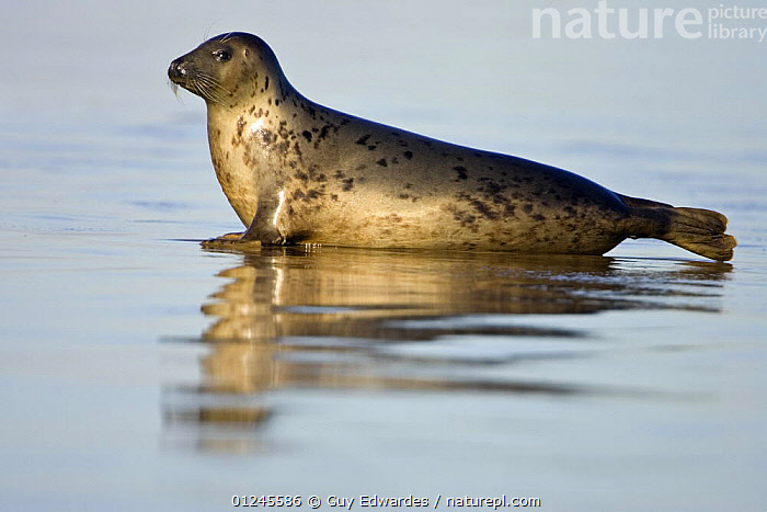 Grey Seal {Halichoerus grypus} reflected on wet sandy beach, Donna Nook, Lincolnshire, England, January, BEACHES,CARNIVORES,COASTS,EUROPE,MAMMALS,PINNIPEDS,PORTRAITS,PROFILE,REFLECTIONS,SEALS,UK,VERTEBRATES, CARNIVORES , United Kingdom, Guy Edwardes