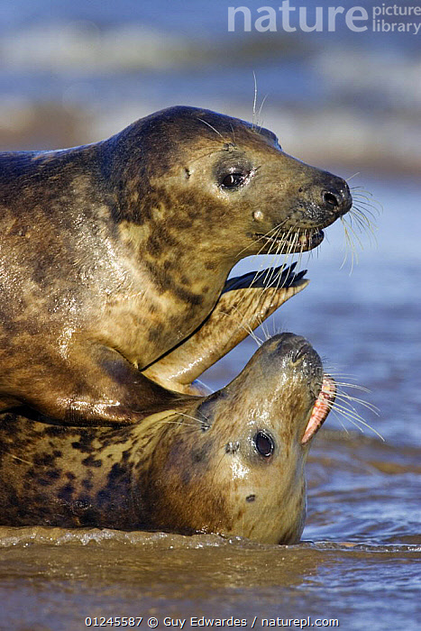 Grey Seal {Halichoerus grypus} playing in the surf, Donna Nook, Lincolnshire, England, January, BEACHES,BEHAVIOUR,CARNIVORES,COASTS,EUROPE,MAMMALS,PINNIPEDS,PLAY,SEALS,TWO,UK,VERTEBRATES,VERTICAL, CARNIVORES ,Communication, United Kingdom, Guy Edwardes