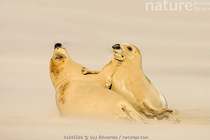 Grey Seals {Halichoerus grypus} covered in sand playing on beach during sandstorm, Donna Nook, Lincolnshire, England, January, BEACHES,BEHAVIOUR,CARNIVORES,COASTS,EUROPE,MAMMALS,PINNIPEDS,PLAY,SAND,SEALS,TWO,UK,VERTEBRATES, CARNIVORES ,Communication, United Kingdom, Guy Edwardes