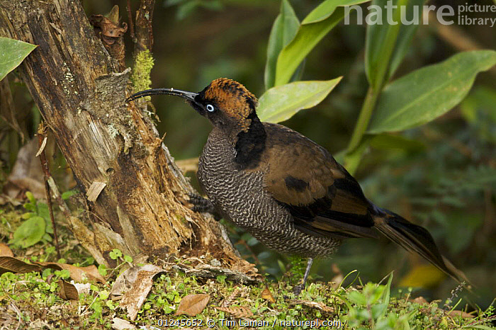 Immature male Brown Sicklebill {Epimachus meyeri} showing transitional plumage to adult male,