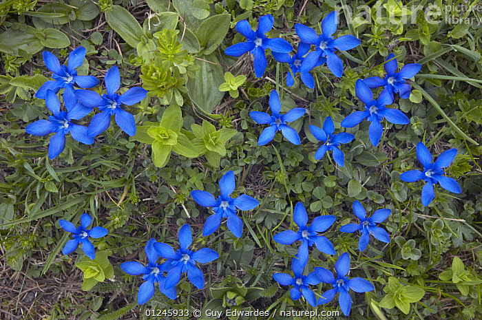Spring gentian (Gentiana verna) flowers, Triglavski National Park, Julian Alps, Slovenia, June  ,  ALPINE,BLUE,COLOURFUL,DICOTYLEDONS,EUROPE,GENTIANACEAE,GROUPS,HIGH ANGLE SHOT,PLANTS,SLOVENIA  ,  Guy Edwardes