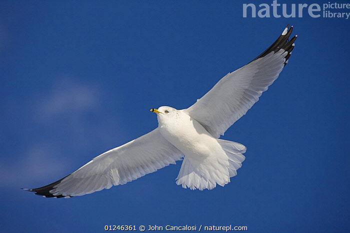 Ring-billed gull (Larus delawarensis) in flight, New York, USA  ,  BIRDS,CUTOUT,FLYING,GULLS,LOW ANGLE SHOT,NORTH AMERICA,SEABIRDS,USA,VERTEBRATES,WINGS  ,  John Cancalosi