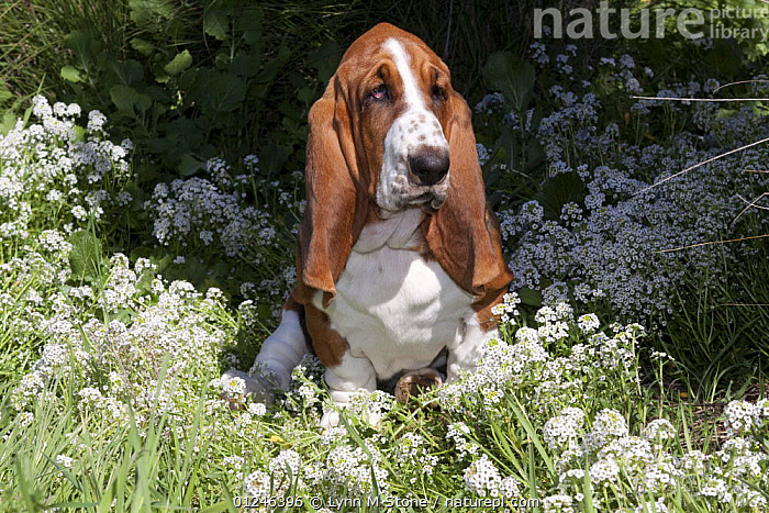 Young Basset hound in grass with white wildflowers, Southern California, USA, DOGS,EARS,FLOWERS,HOUNDS,JUVENILE,PETS,PUPPIES,PUPPY,SITTING,VERTEBRATES,North America,Canids, Lynn M Stone