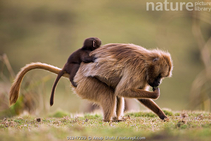 Nature Picture Library - Gelada baboon (Theropithecus gelada