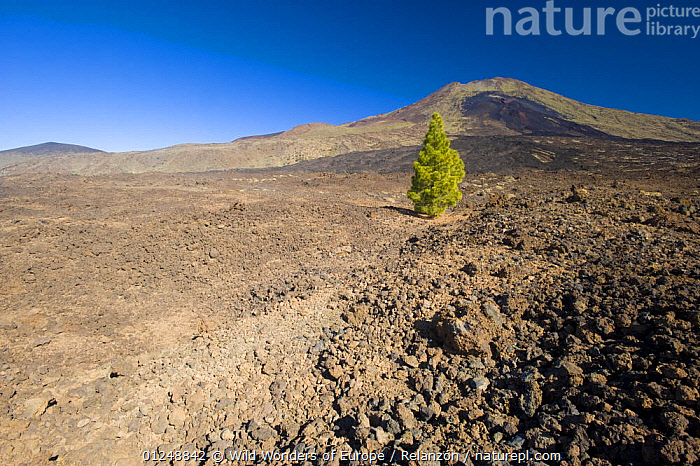 Single Canary pine tree (Pinus canariensis) growing in lava field of the Pico Viejo Volcano, Teide National Park, Tenerife, Canary Islands, Spain, December 2008  ,  ATLANTIC ISLANDS,CANARIES,COLONISATION,CONIFERS,EUROPE,GEOLOGY,GYMNOSPERMS,I�AKI RELANZ�N,LANDSCAPES,LAVA,NP,PINACEAE,PINES,PLANTS,RESERVE,SURVIVAL,TREES,VOLCANIC,VOLCANOES,WWE,National Park  ,  Wild Wonders of Europe / Relanzón