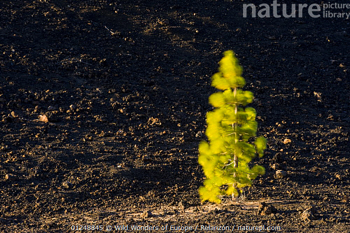 Canary pine tree (Pinus canariensis) moving in the wind, in lava field near Chio, Teide National Park, Tenerife, Canary Islands, Spain, December 2008, ATLANTIC ISLANDS,CANARIES,CONIFERS,EUROPE,GEOLOGY,GREEN,GYMNOSPERMS,I�AKI RELANZ�N,LANDSCAPES,NP,PINACEAE,PINES,PLANTS,RESERVE,TREES,VOLCANIC,WIND,WWE,National Park,Weather, Wild Wonders of Europe / Relanzón