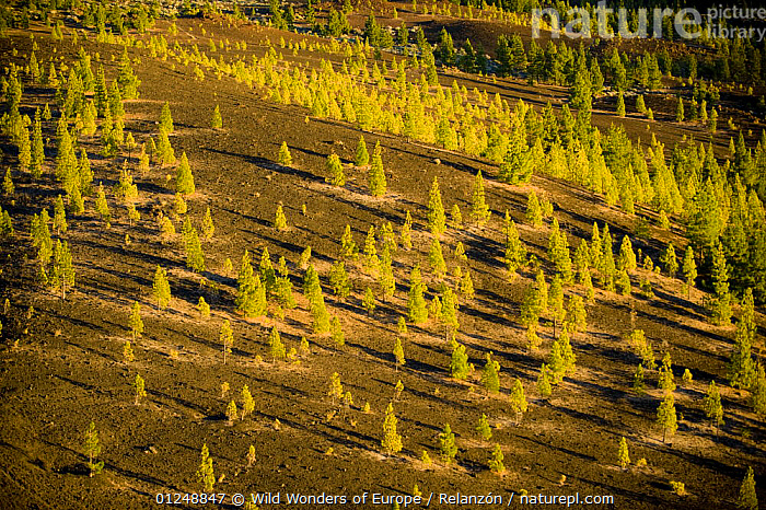 Canary pines (Pinus canariensis) growing in lava field near Chio, Teide National Park, Tenerife, Canary Islands, Spain, December 2008  ,  ATLANTIC ISLANDS,CANARIES,COLONISATION,CONIFERS,GEOLOGY,GYMNOSPERMS,I�AKI RELANZ�N,LANDSCAPES,LAVA,NP,PINACEAE,PINES,PLANTS,RESERVE,SUCCESSION,TREES,VOLCANIC,WWE,National Park,Europe  ,  Wild Wonders of Europe / Relanzón