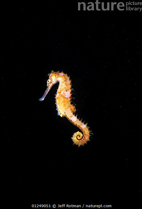 Tigertail Seahorse (Hippocampus comes) Lembeh Strait, Celebes Sea, Sulawesi, Indonesia.  ,  ASIA,CUTOUT,FISH,INDO PACIFIC,MARINE,OSTEICHTHYES,SEAHORSES,TROPICAL,UNDERWATER,VERTEBRATES,VERTICAL,INDONESIA,SOUTH-EAST-ASIA  ,  Jeff Rotman