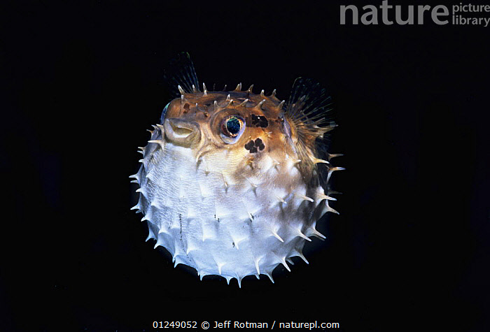 Orbicular burrfish / Short-spined porcupinefish (Cyclichthys orbicularis) puffed up with water, Lembeh Strait, Celebes Sea, Sulawesi, Indonesia.  ,  BEHAVIOUR,BURRFISH,DEFENSIVE,FISH,INDO PACIFIC,MARINE,OSTEICHTHYES,SPINES,TROPICAL,UNDERWATER,VERTEBRATES  ,  Jeff Rotman