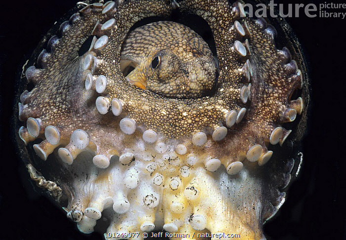 Veined / Coconut Octopus (Octopus marginatus) with tentactles coiled around body, Lembeh Strait, Celebes Sea, Sulawesi, Indonesia.  ,  CEPHALOPODS,INDO PACIFIC,INVERTEBRATES,MARINE,MOLLUSCS,SUCKERS,TENTACLES,TROPICAL,UNDERWATER,WEIRD, Molluscs  ,  Jeff Rotman