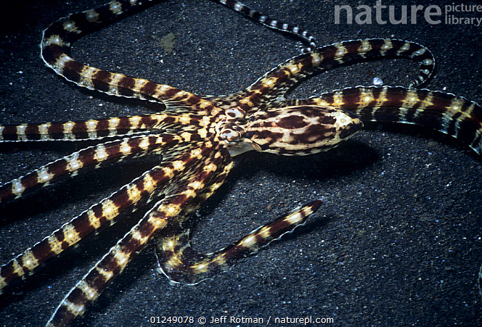 Wunderpus Octopus (Octopodidae sp) on seabed, Lembeh Strait, Celebes Sea, Sulawesi, Indonesia.  ,  CEPHALOPODS,INDO PACIFIC,INVERTEBRATES,MARINE,MOLLUSCS,OCTOPUS,STRIPED,STRIPES,TROPICAL,UNDERWATER,WEIRD,INDONESIA, Molluscs,SOUTH-EAST-ASIA,Asia, Molluscs  ,  Jeff Rotman
