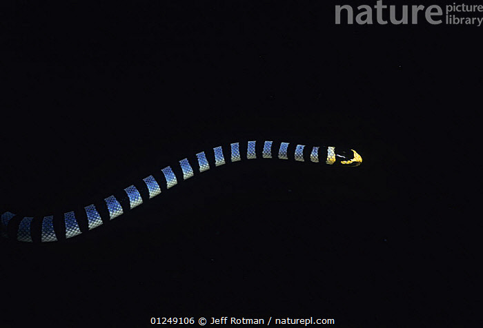 Banded Seasnake (Enhydrina schistosa) swimming, at night. Lembeh Strait, Celebes Sea, Sulawesi, Indonesia.  ,  INDO PACIFIC,MARINE,REPTILES,SEA SNAKES,STRIPES,TROPICAL,UNDERWATER,VENOMOUS,VERTEBRATES  ,  Jeff Rotman