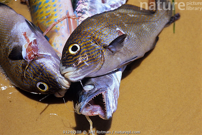 Sea Perch and Parrot Fish caught by spear fishermen, Inhassoro, Mozambique.  ,  FISH,FISHING,OSTEICHTHYES,SOUTHERN AFRICA,TRADITIONAL,VERTEBRATES  ,  Jeff Rotman