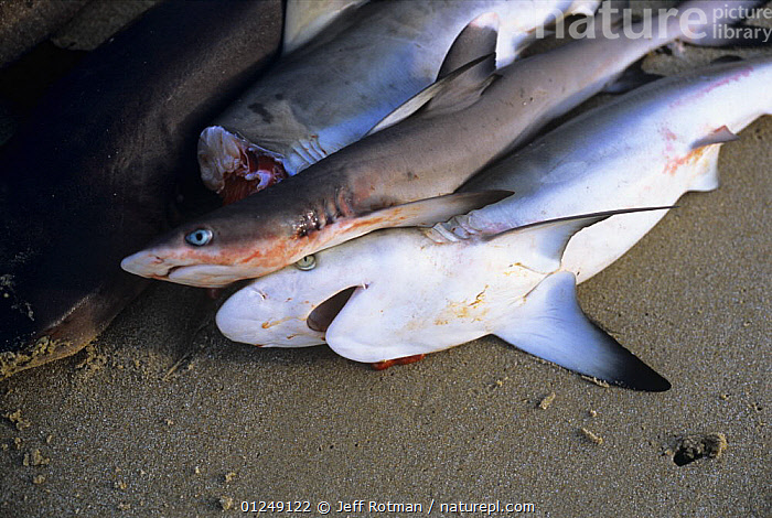 Whitetip and Blacktip Sharks caught with hand line, Vilankulo, Mozambique, November 2008  ,  BEACHES,COASTS,FISH,FISHERIES,FISHING,PEOPLE,SHARK,SOUTHERN AFRICA,TRADITIONAL,TROPICAL  ,  Jeff Rotman