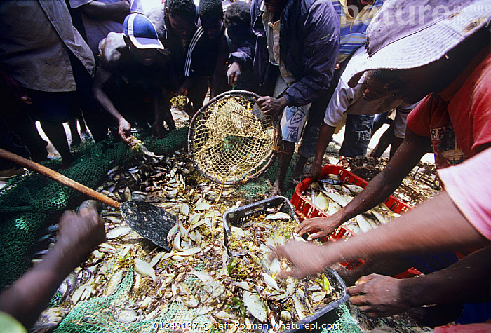 Fishermen sort catch from beach seine nets, Vilankulo, Mozambique, November 2008  ,  AFRICA,BEACH,BEACHES,BEAHC,CAUGHT,CRUSTACEANS,FISH,FISHERIES,GROUPS,OVERFISHING,PEOPLE,S51JY,SEINE,SORT,SORTING,VILANKULO,Invertebrates,SOUTHERN AFRICA  ,  Jeff Rotman
