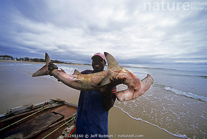 Fisherman with Hammerhead Shark caught with hand line. Inhassoro, Mozambique, November 2008  ,  COASTS,FISH,FISHERMEN,FISHING,HOLDING,MAN,PEOPLE,SHARKS,SOUTHERN AFRICA  ,  Jeff Rotman
