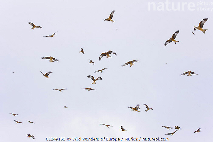 Large group of Red kites (Milvus milvus) in flight waiting to be fed at Gigrin Farm, Powys, Rhayader, Wales, UK, February 2009  ,  BEHAVIOUR,BIRDS,BIRDS OF PREY,EUROPE,FLYING,GROUPS,JUAN CARLOS MUNOZ,KITES,LOW ANGLE SHOT,UK,VERTEBRATES,WWE, United Kingdom  ,  Wild Wonders of Europe / Muñoz
