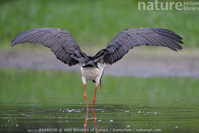 Rear view of Black stork (Ciconia nigra) with wings outstretched, Elbe Biosphere Reserve, Lower Saxony, Germany, August 2008  ,  BIRDS,DIETER DAMSCHEN,EUROPE,GERMANY,RESERVE,STORKS,STRETCHING,VERTEBRATES,WINGS,WWE  ,  Wild Wonders of Europe / Damschen