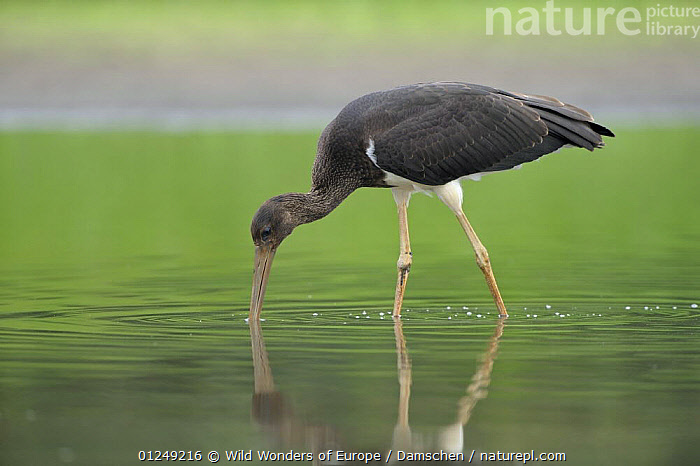 Juvenile Black stork (Ciconia nigra) with beak in water, Elbe Biosphere Reserve, Lower Saxony, Germany, August 2008  ,  BIRDS,DIETER DAMSCHEN,EUROPE,GERMANY,JUVENILE,PROFILE,REFLECTIONS,RESERVE,STORKS,VERTEBRATES,WATER,WWE  ,  Wild Wonders of Europe / Damschen