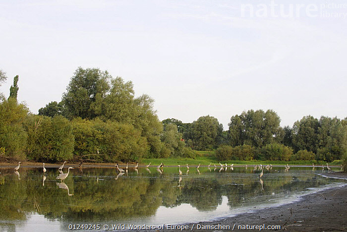 Grey herons (Ardea cinerea) wading in river,  Elbe Biosphere Reserve, Lower Saxony, Germany, September 2008  ,  BIRDS,DIETER DAMSCHEN,EUROPE,GERMANY,GROUPS,LANDSCAPES,REFLECTIONS,RESERVE,RIVERS,STORKS,TREES,VERTEBRATES,WATER,WWE,PLANTS  ,  Wild Wonders of Europe / Damschen